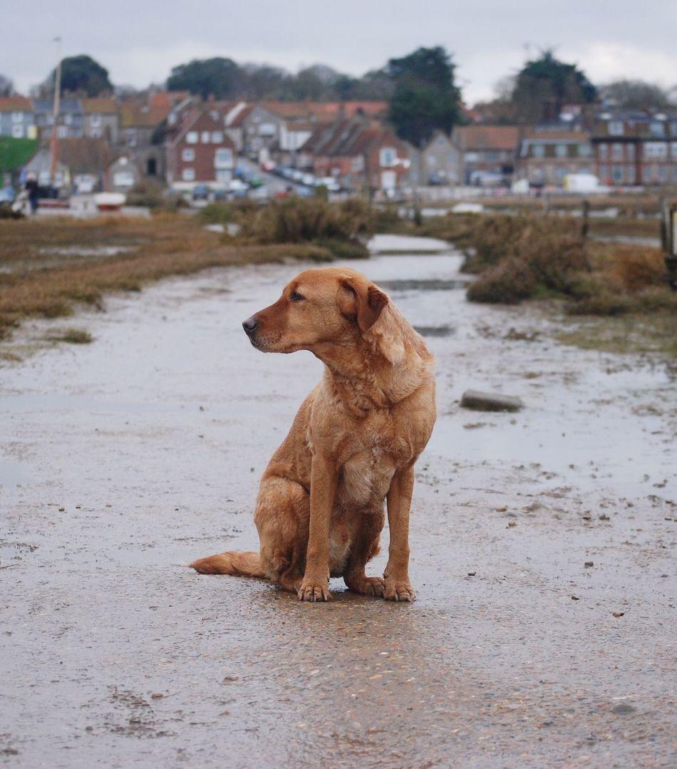 Bonzo @bonzosworld instagram Dog Animal Themes Pets Focus On Foreground Domestic Animals One Animal Red Lab Red Fox Lab Labrador Retriever Labrador Marsh Outdoors Day No People