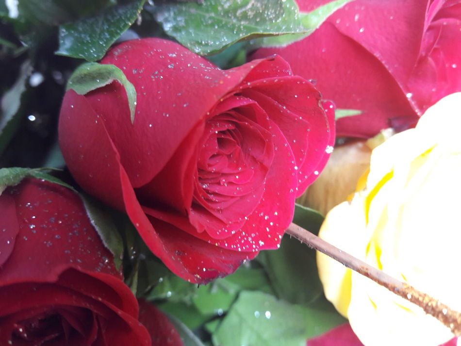 Red Rose 🌹 Bhubaneswar Jamshedpur जय महाकाल ClickedByMe Maximum Closeness