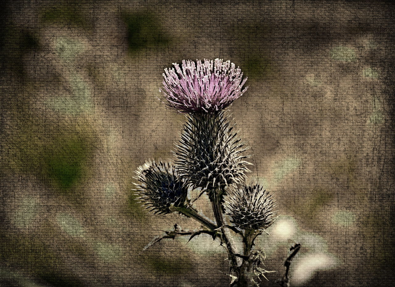 close-up blooming thistle (effects in ACDSee Ultimate 10) ACDSee Beauty In Nature Blooming Flower Blooming Thistle Close-up Flower Fragility Growth Nature No People Outdoors Special Effects Thistle Thistle Flower