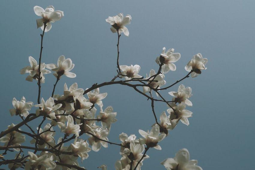 Magnolia Flower Flowers Flower Magnolia_Blossom Magnolia Spring Flowers Sky