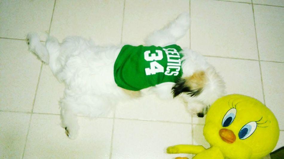 Rag puppy...he loves tweety so much. PuppyLove Tweetylove Sleepingpuppy Pupz