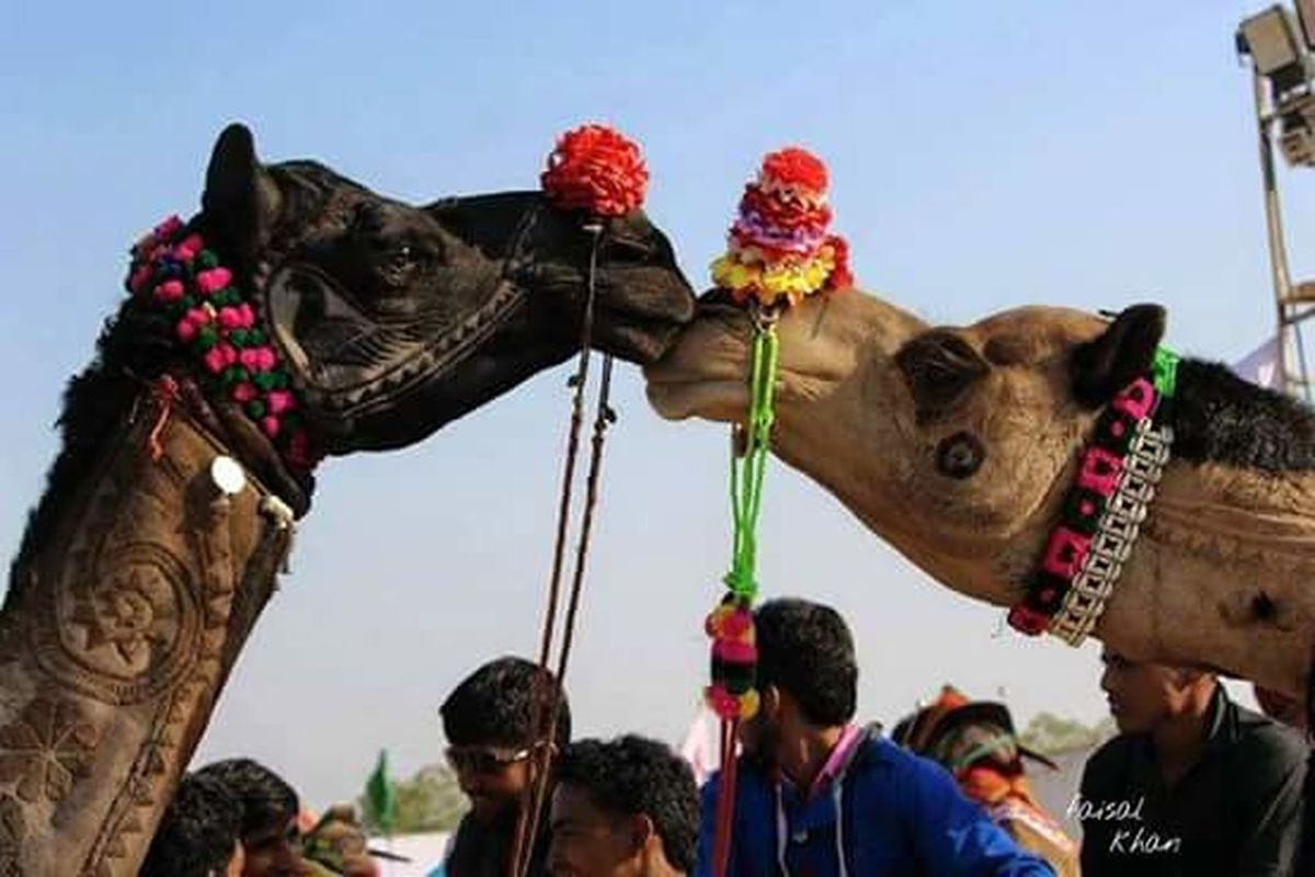 The Love Collection Here Belongs To Me 📍 Camel Festival Rajasthan Beauty Apno Rajasthan Padharo_mahare_desh