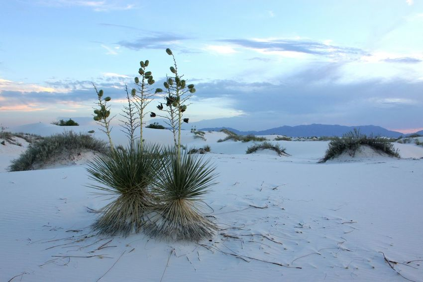 WhiteSands National Park Landscape Desert Beauty In Nature Yucca Arid Climate No People Outdoors Tranquility Scenics Yucca Flower Sunset_collection