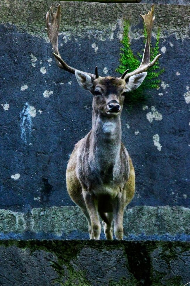 Antlers On The Wall Animal Head  Animal Nose Animal Themes Antlers On Wall Buck Concrete Jungle Concrete Wall Contrasts Day Deer Focus On Foreground Front View Herbivorous Lonelyplanet Look-out Looking Looking At Camera Mammal One Animal Outdoors Portrait Royalty Life  Zoo Zoology