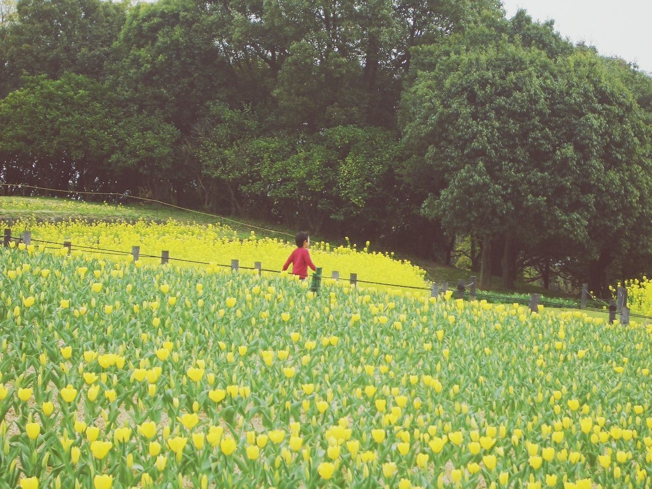 growth, flower, yellow, nature, beauty in nature, tree, real people, rear view, tranquil scene, one person, day, tranquility, field, outdoors, plant, fragility, scenics, agriculture, oilseed rape, women, lifestyles, rural scene, freshness, adult, people