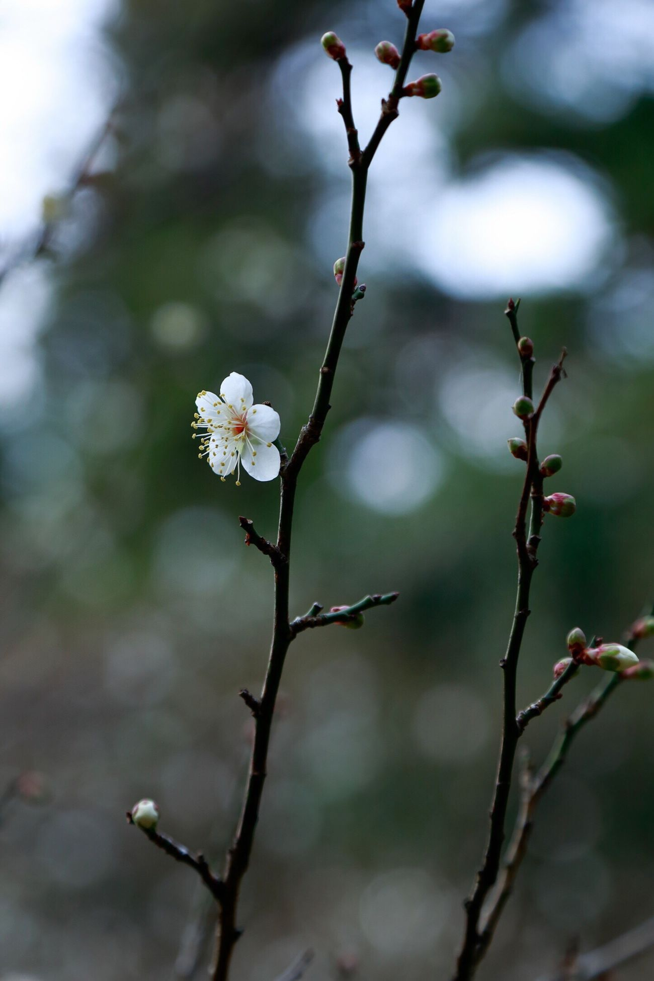 Japanese plum bloomed bit earlier. Maybe, can't wait for spring!!🌸 Japaneseplum Ume Winterflowers Flower Winter Nature Beauty In Nature Blooming Plum Blossom Nature Photography EyeEm Nature Lover EyeEm Best Shots - Nature Week On Eyeem Fukuoka,Japan