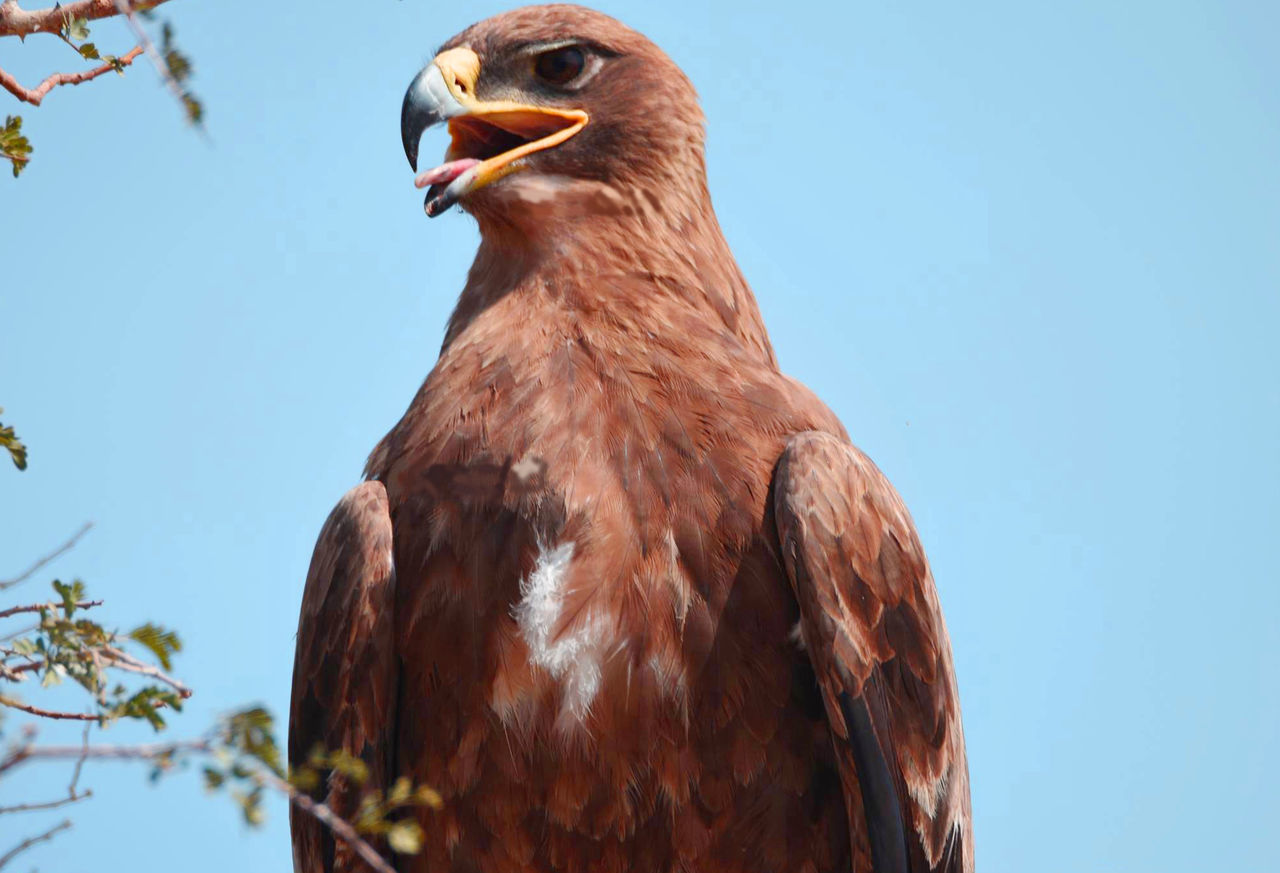 Animal Themes Animals In The Wild Bald Eagle Beak Bird Bird Of Prey Brown Clear Sky Close-up Day Eagle - Bird Low Angle View Nature No People One Animal Outdoors Sky