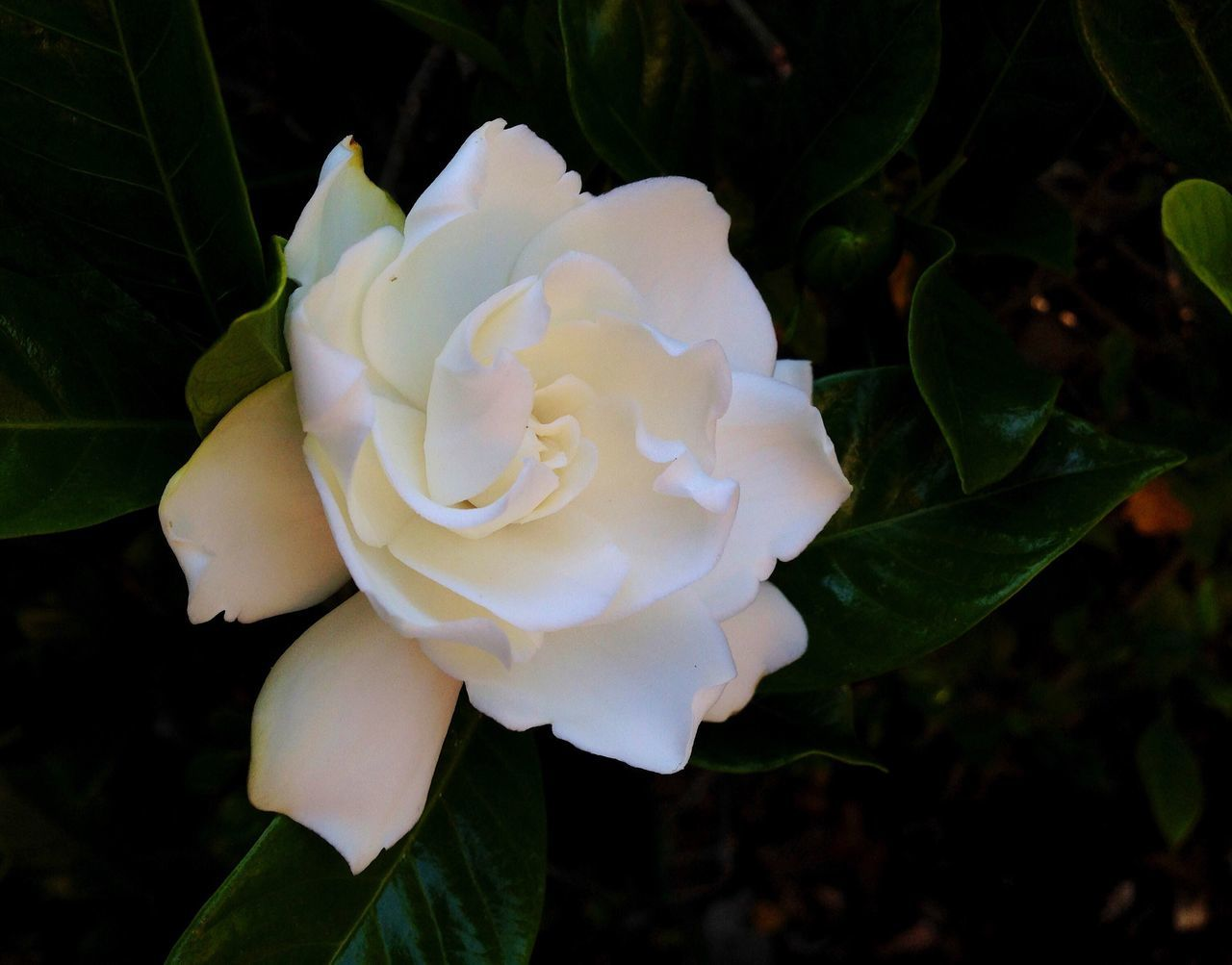 White gardenia blooming on an evergreen shrub. Gardenia White Flower Beauty In Nature Nature Freshness Flower Head Outdoors Blooming Plant No People Close-up Garden