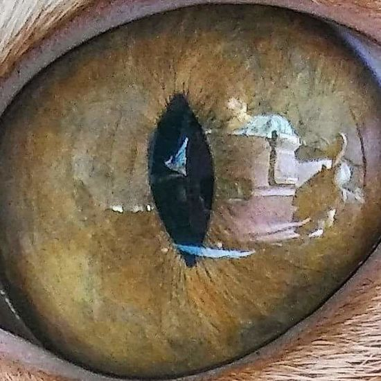 As Eye see it! 👀 Close-up No People Day Pets Animal Domestic Animals Animal Body Part Alertness Feline One Animal Gingercatsofinstagram Ginger Cat Sunlight And Reflection Eyeball Cat Eye Up Close Cat Eye.
