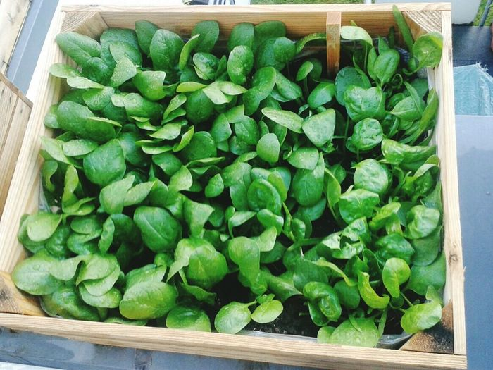 Gardening Urban City Feldsalat Plants 🌱 Growing Plants Growing Spring Gärtnern Jungpflanze Sunshine