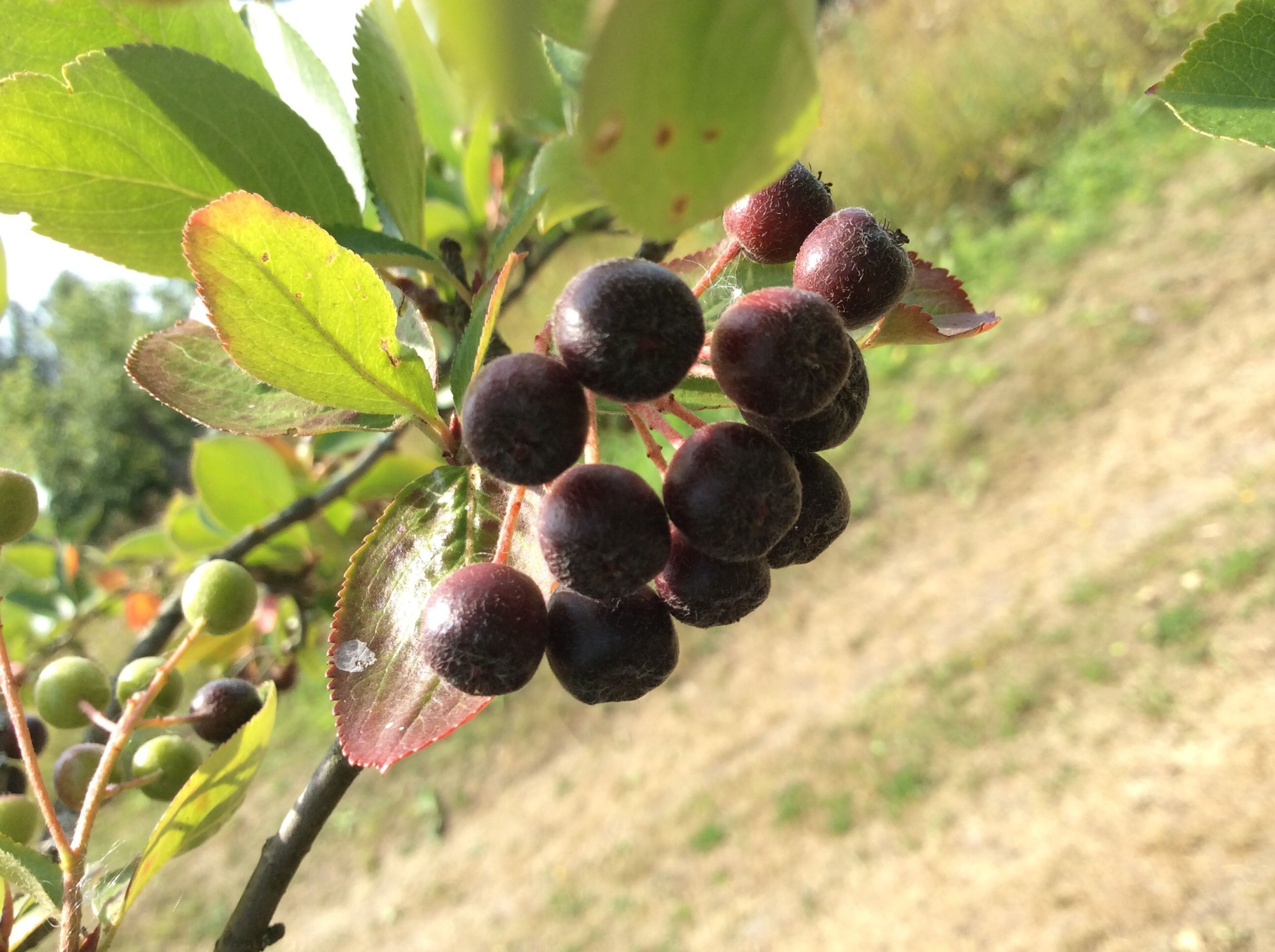 fruit, food and drink, food, healthy eating, freshness, growth, grape, ripe, tree, close-up, vineyard, focus on foreground, berry fruit, bunch, agriculture, leaf, nature, growing, branch, berry
