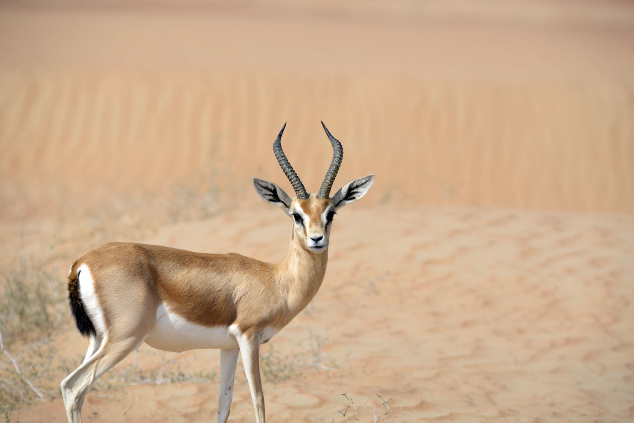 Arabian Gazelle at the Dubai Desert Conservation Reserve Animal Animal Themes Animals In The Wild Antelope Arid Climate Beauty In Nature Day Deer Dubai Dubai Desert Dubai Desert Conservation Reserve Gazelle Mammal Nature No People Outdoors Stag UAE