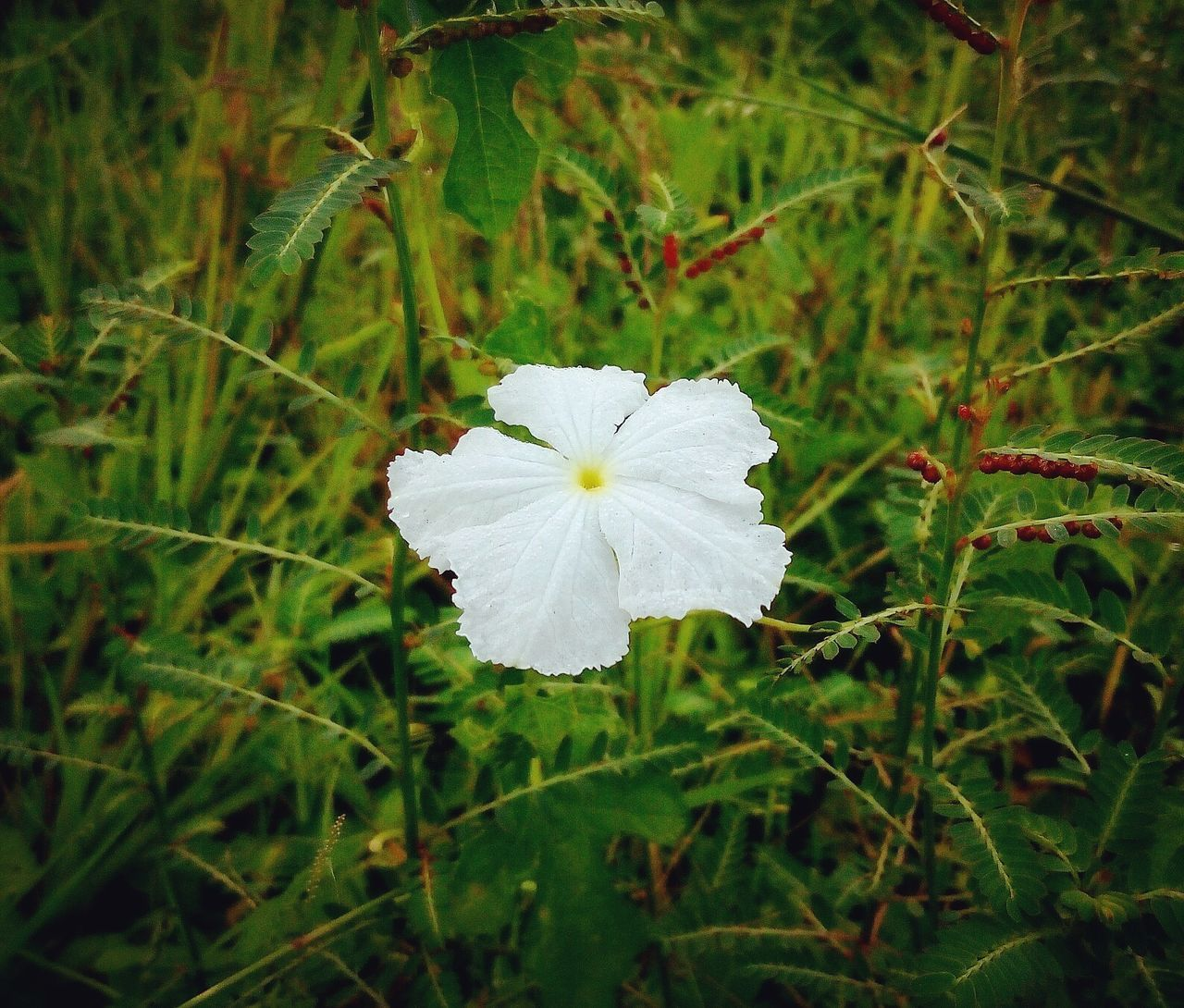 flower, white color, growth, flower head, petal, fragility, nature, beauty in nature, plant, day, blooming, no people, freshness, close-up, outdoors, periwinkle