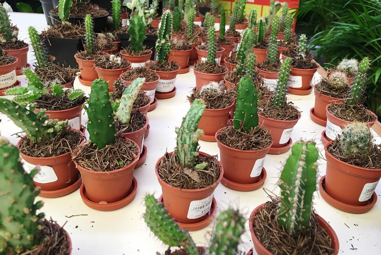 Potted Plant Cactus Growth Beauty In Nature Cancun Views Mexico Pott Nature Enjoying Life cactus mini potts