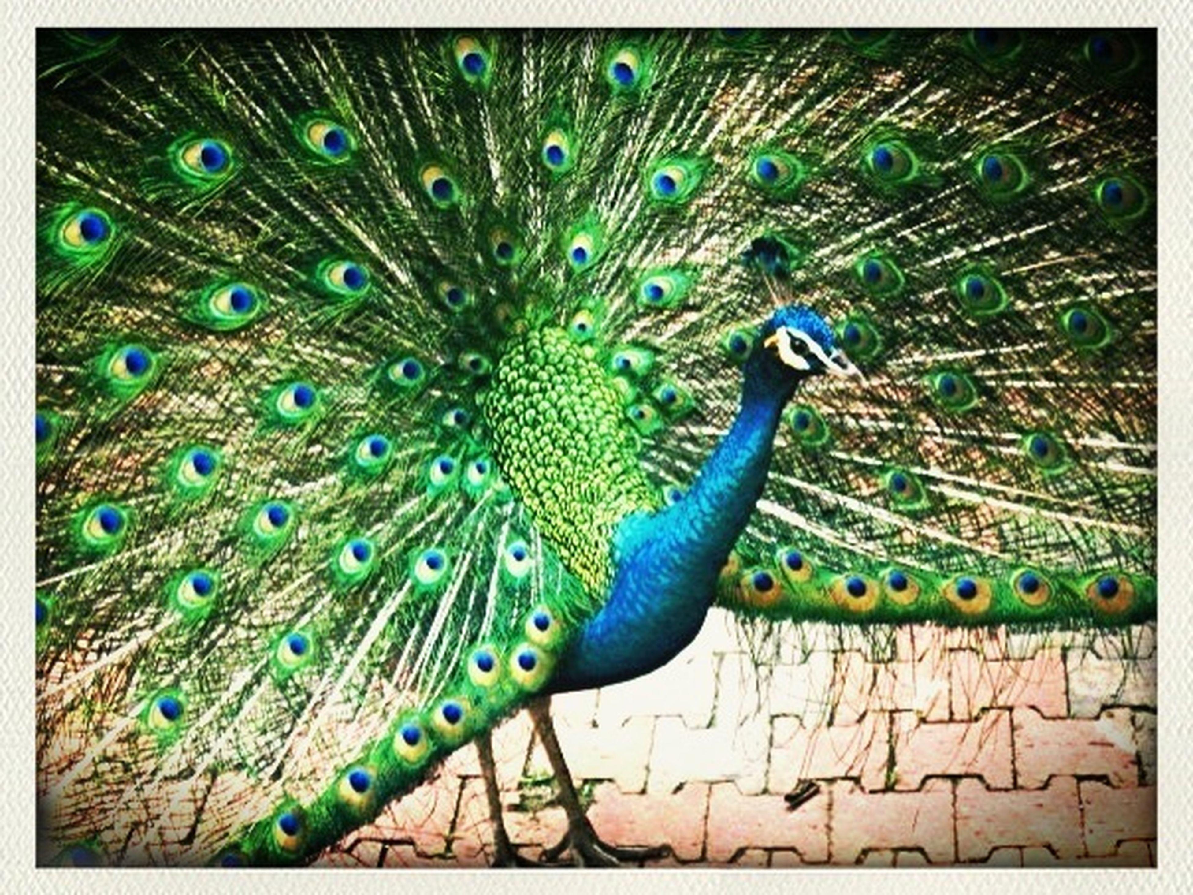 Nature Birds Malaysia Peacock