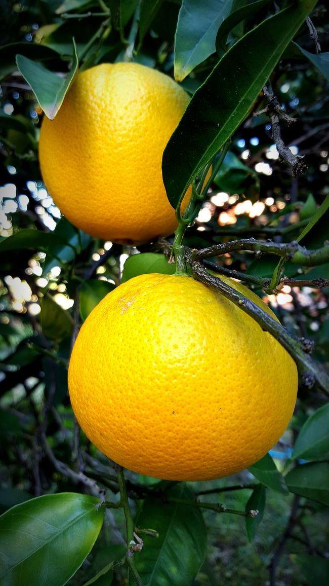 Oranges on tree Oranges Oranges On Tree