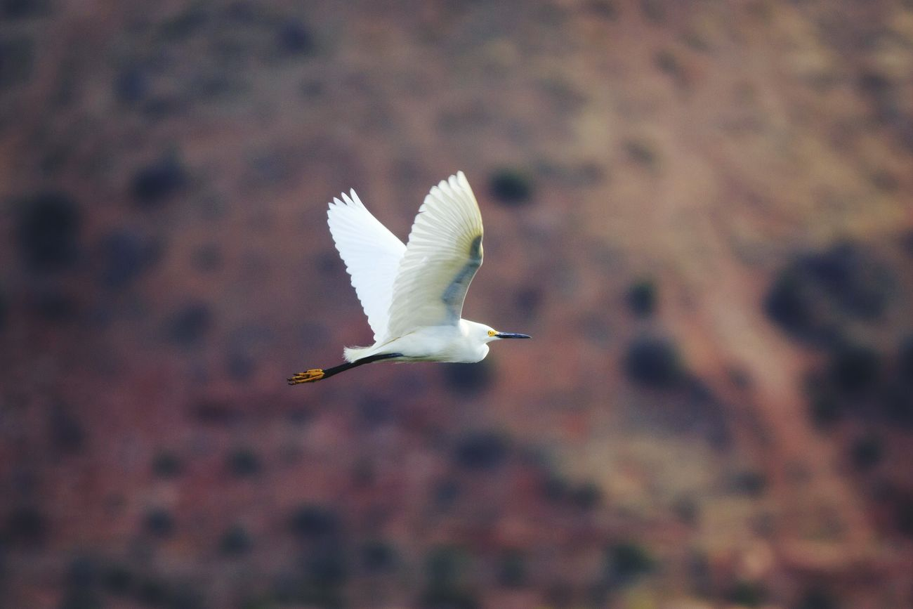 Egrets Birds In Flight Birdwatching Birds Of EyeEm  Animals In The Wild Eye4photography  Canon I Hope My Pictures Touch Your Hart Bestoftheday Nature Fine Art Feathered Beauty Canon 5d Mark Lll United States Utah Animals Birds Wildlife White Flying Bird