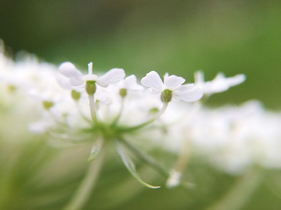 Queen Anne's Lace Macro Close-up Flower Fragility Freshness Growth Petal Beauty In Nature White Color Macro Petals Green Nature Soft Queen Anne's Lace Petals Flowers Botanical Summer Soft