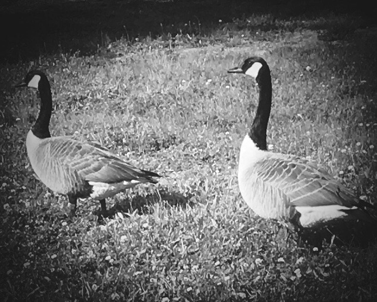 Two Canadian geese looking for food HUNGRY!!! Check This Out Iphonephotography Nature Perfect Blackandwhiteportraits Relaxedand Happy Posing For The Camera Wild Birds