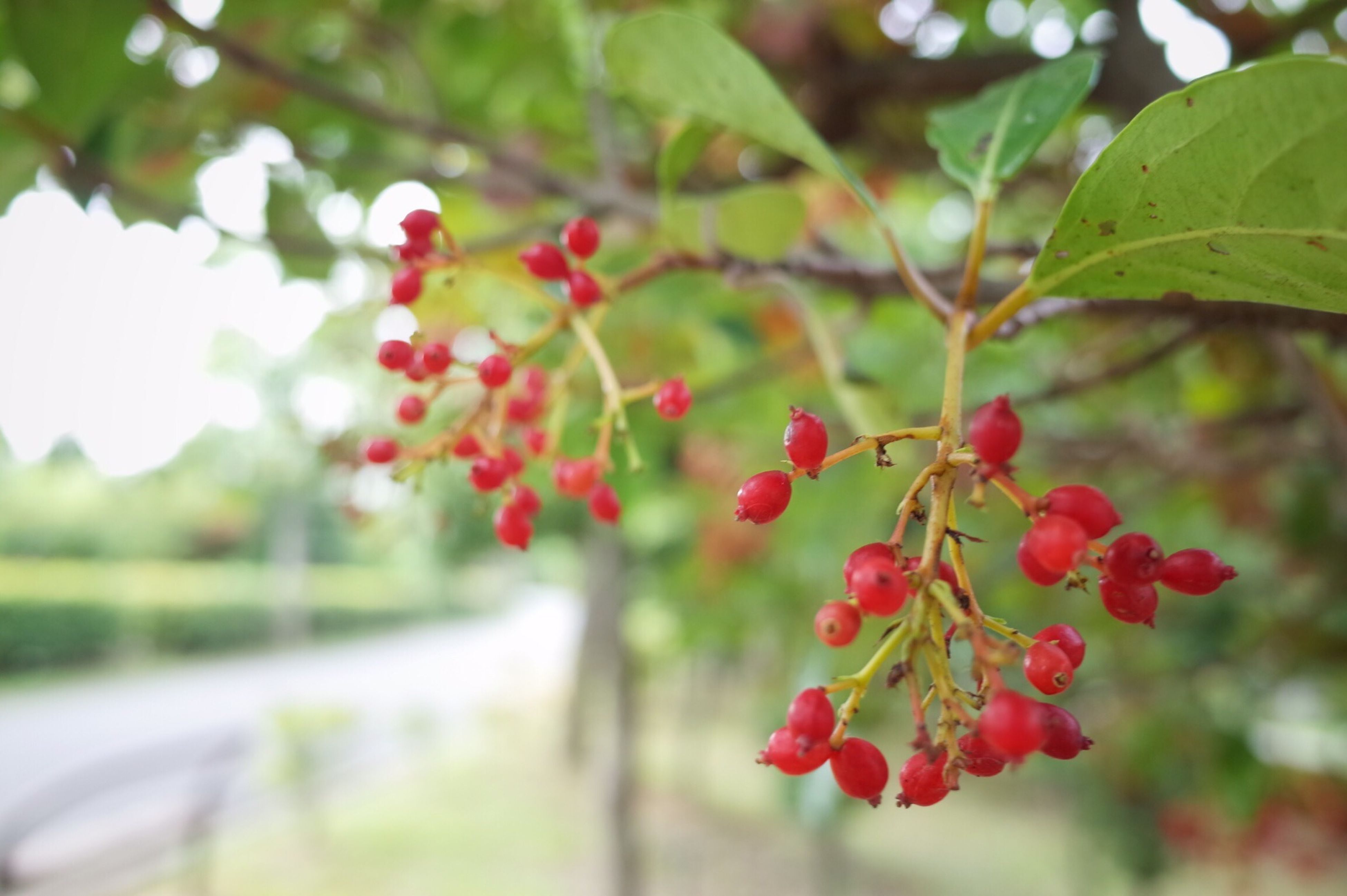 freshness, red, growth, flower, focus on foreground, tree, leaf, branch, nature, close-up, beauty in nature, plant, fruit, fragility, selective focus, day, blossom, bud, outdoors, no people