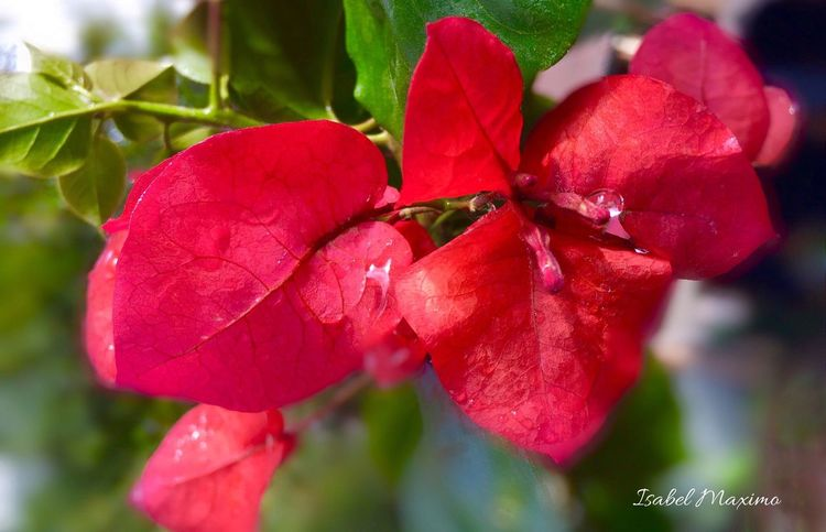 @izzymaxie Red bougainvillea after the rain Beautiful Flower Redflowers Bougainvillea Flower Waterdropsphotography Outdoor Photography RedFlowers😍 Outdoors Photograpghy  Outdoor Pictures Outdoors❤