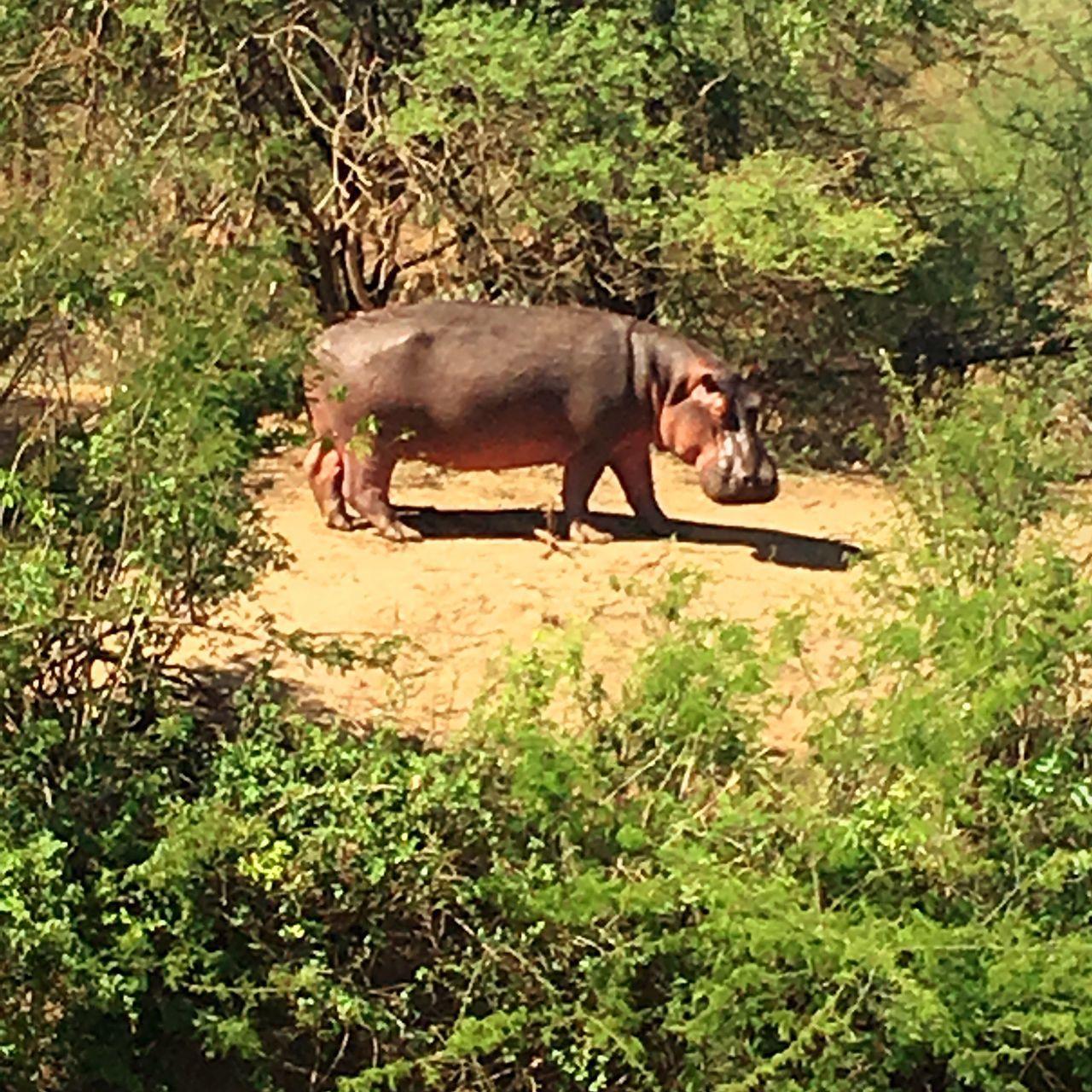 Serengeti National Park Tansania 🇹🇿 Nilpferd Safari