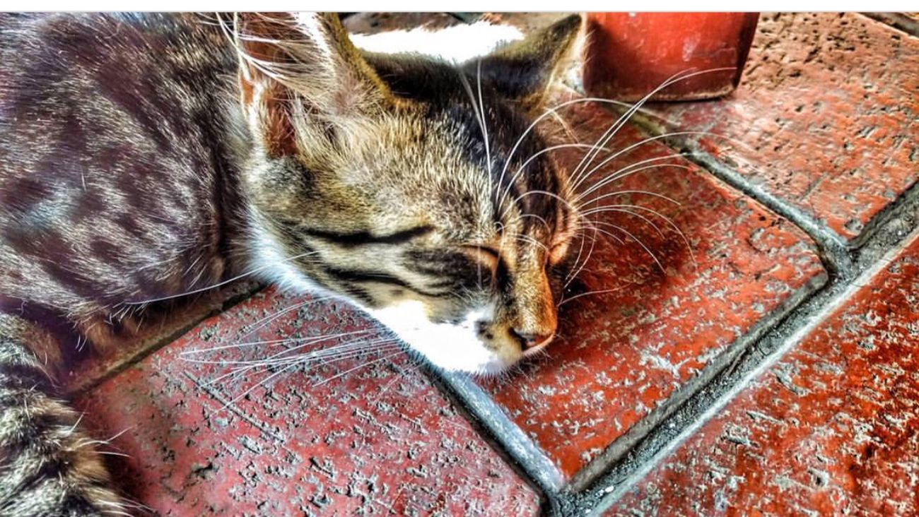 Domestic Cat Domestic Animals Pets Mammal Animal Themes One Animal Lying Down Feline Cat No People Close-up Tabby Day Cat♡ Altinoluk Balikesir Photographer Outdoors First Eyeem Photo