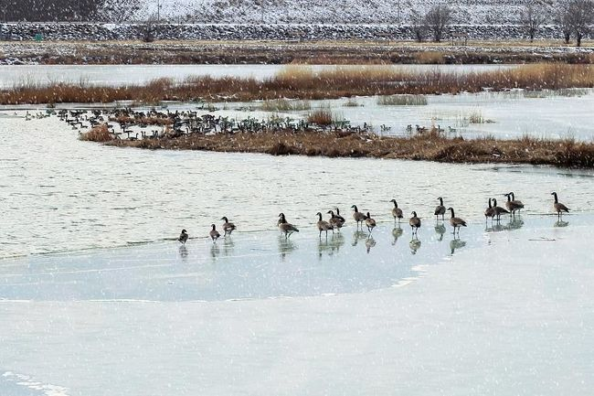 Winter time geese resting on the ice. Outdoors Animals In The Wild Large Group Of Animals Cold Temperature Snow Beauty In Nature Bird Nature Geese Geese At The Lake Country Living Colorado Country Life