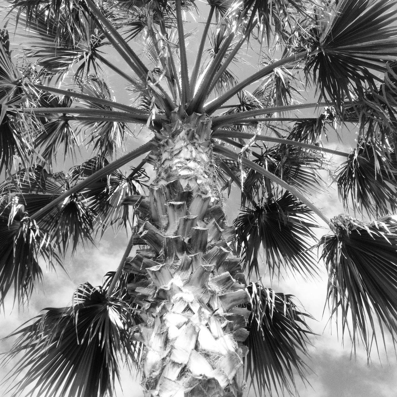 Low Angle View Of Date Palm Tree