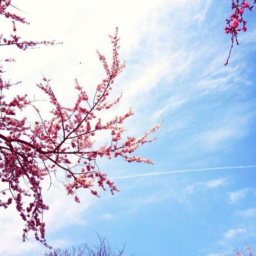 Sky Clouds And Sky Cherry Blossoms Skyporn
