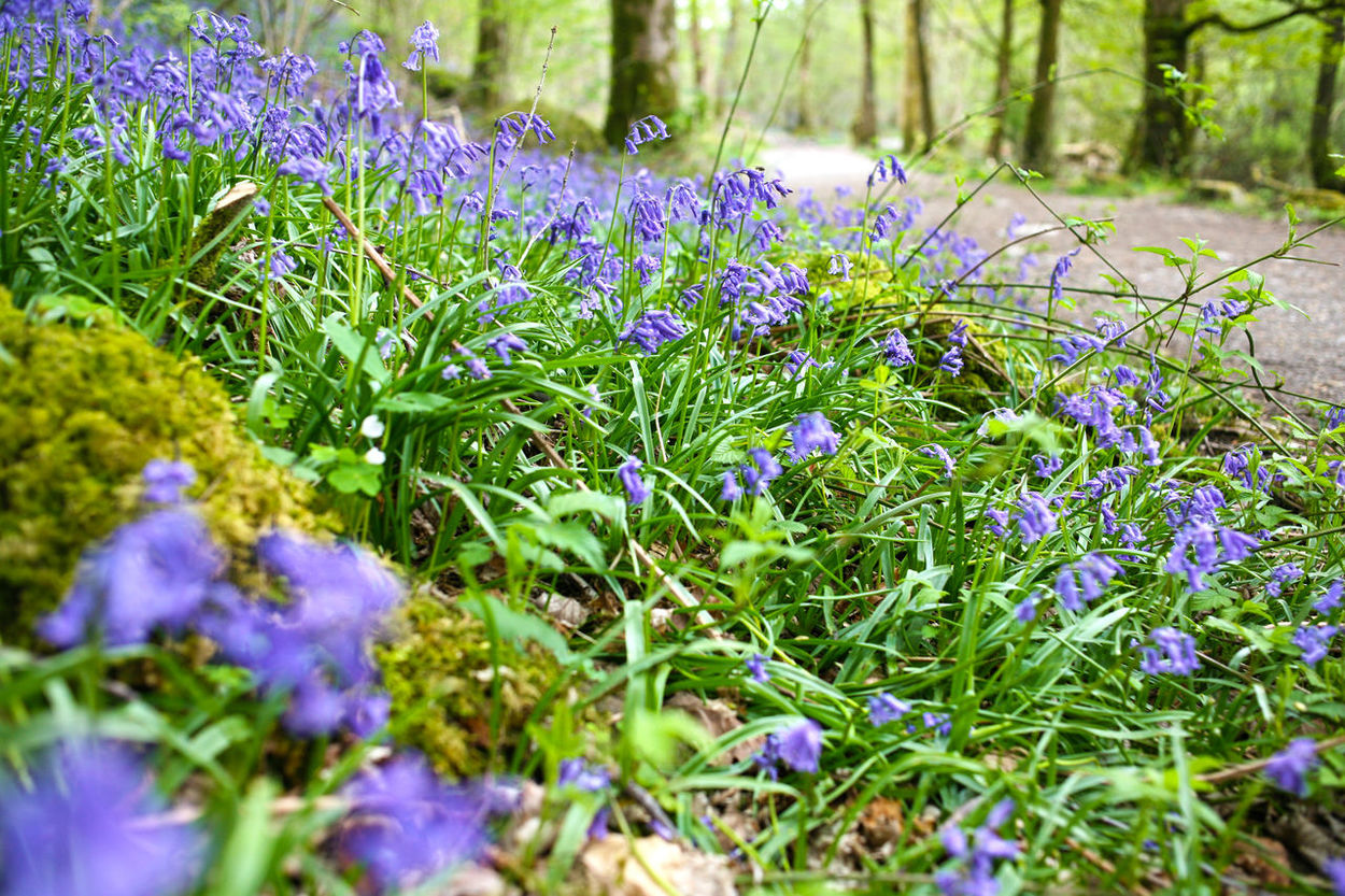 Elterwater The Lake District  Beauty In Nature Close-up Flower Flower Head Freshness Growth Nature Outdoors Plant Purple Selective Focus Spring Flowers Springtime The Lake District Cumbria The Lake District Uk Tranquility