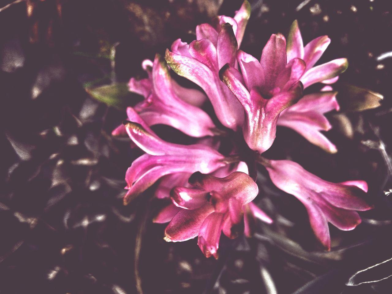 Hyacinth Hyacinth Flower Pink Macro Spring Spring Flowers Blossom Garden Treasures
