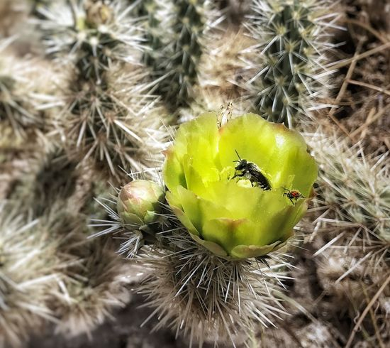 Thorn Cactus Plant Beauty In Nature Dessert Blooms Flowers Beautiful Photographer Amateur Closeup MacroClose-up Optoutside