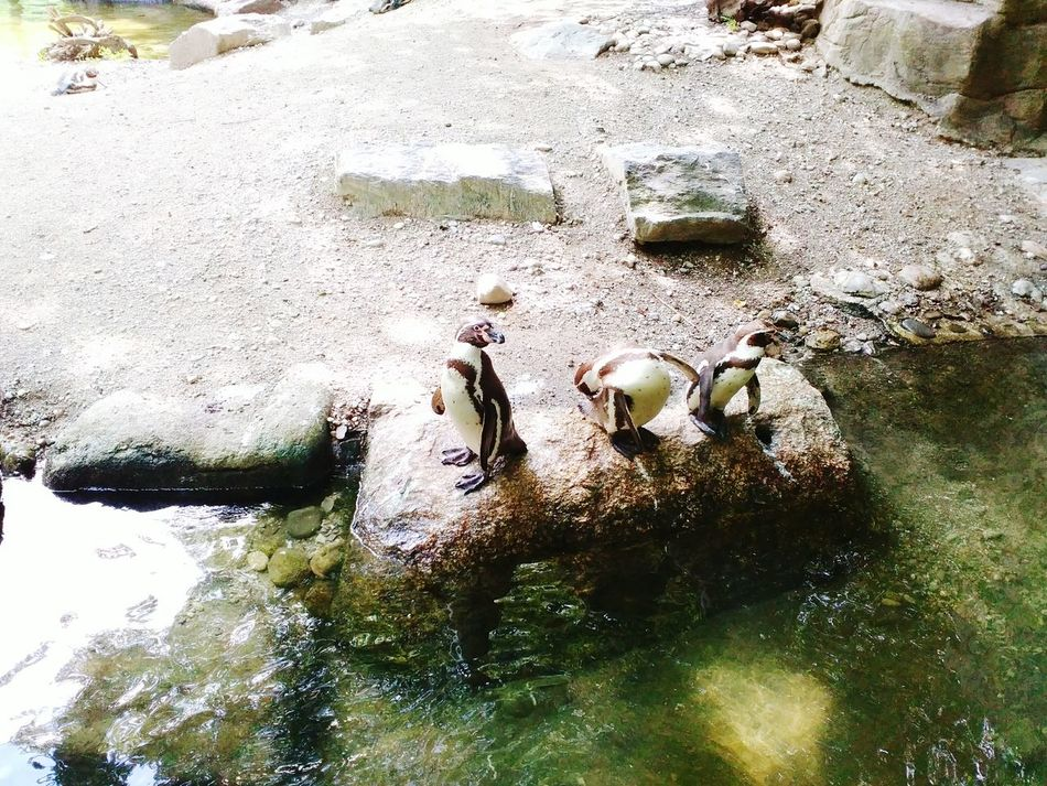 Penguins A Day At The Zoo Munich Zoo Showcase July Outdoors AnimaLs <3 Fresh On Eyeem  Day Out