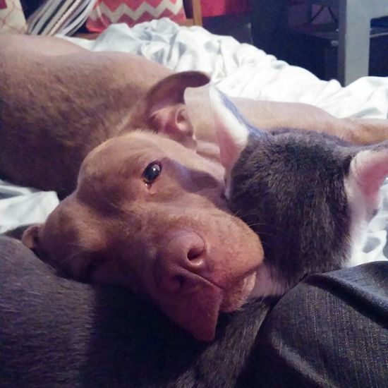 Sisterly love. A Pitbull And Kitty Sister Loves Her Sister Kitty Pillow Pitbull Lives Matter My Four Legged Children Love My Girls Pet Photography  Spoiled Rotten Rescue Pets