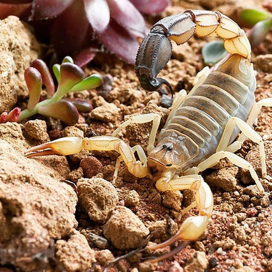 "0.1 Androctonus australis ""lybicus"" (Libya). Adult Animal Themes Animals In The Wild Animal Wildlife Scorpions Insect Skorpion Scorpion Androctonus Fattailscorpion Androctonusaustralis Libyen Animals In The Wild"