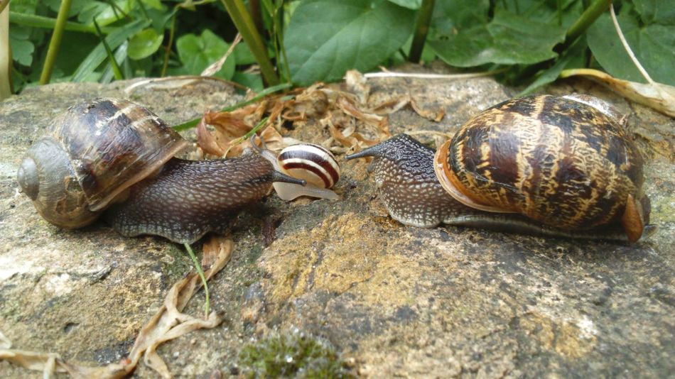 Snails Party Party Time Twos Company Threes A Crowd Snail Collection Nature Nature On Your Doorstep Nature_collection Nature Photography Slimy Snails Slimy Snail Shells Snail Photography Gastropoda Mollusca On A Wall Snails On A Wall Leafy Landscape The EyeEm Collection