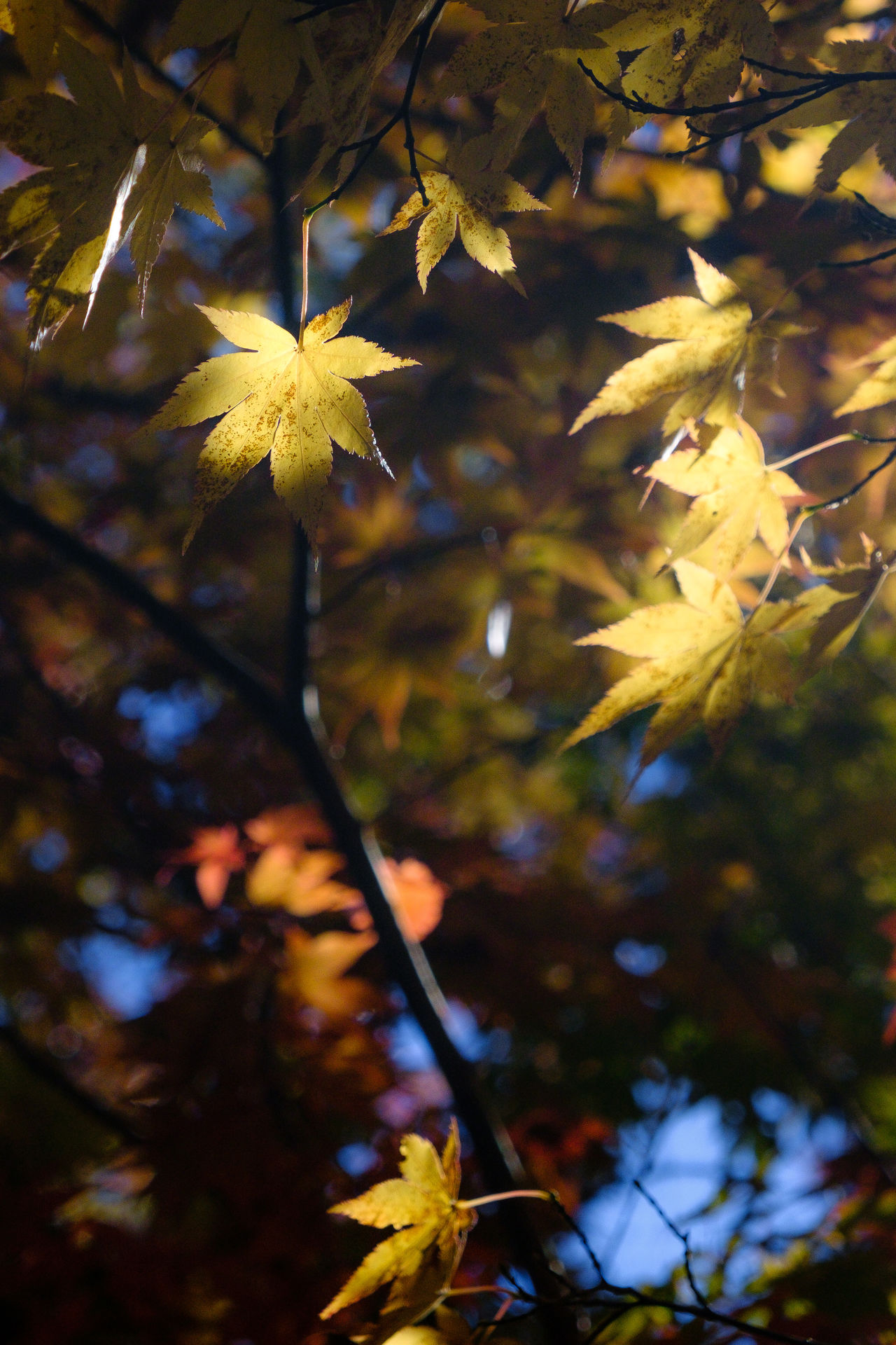Fall maple leaves glow in the sun Leaf Nature Beauty In Nature Fall Collection Fall FoliageNature No People EyeEm Nature Lover Eye4photography  Beautiful Light Fall Colors Fall Beauty Fujifilm_xseries Fuji Xt2 Beauty In Nature Natural Beauty Fuji XT-2 Long Island E Subtle Colors