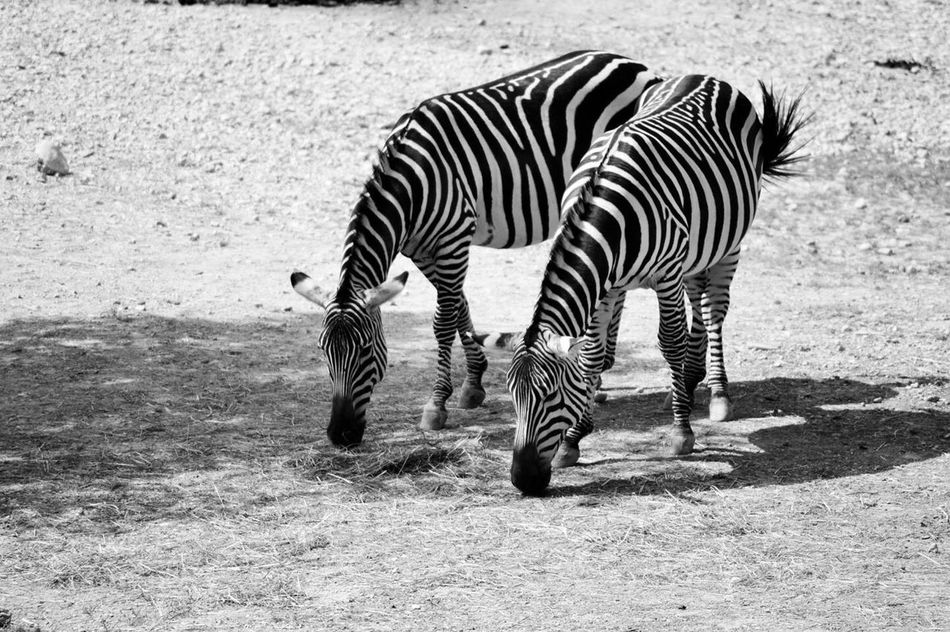 Beautiful stock photos of zebra, Animal Body Part, Animal Marking, Animal Themes, Animals In The Wild