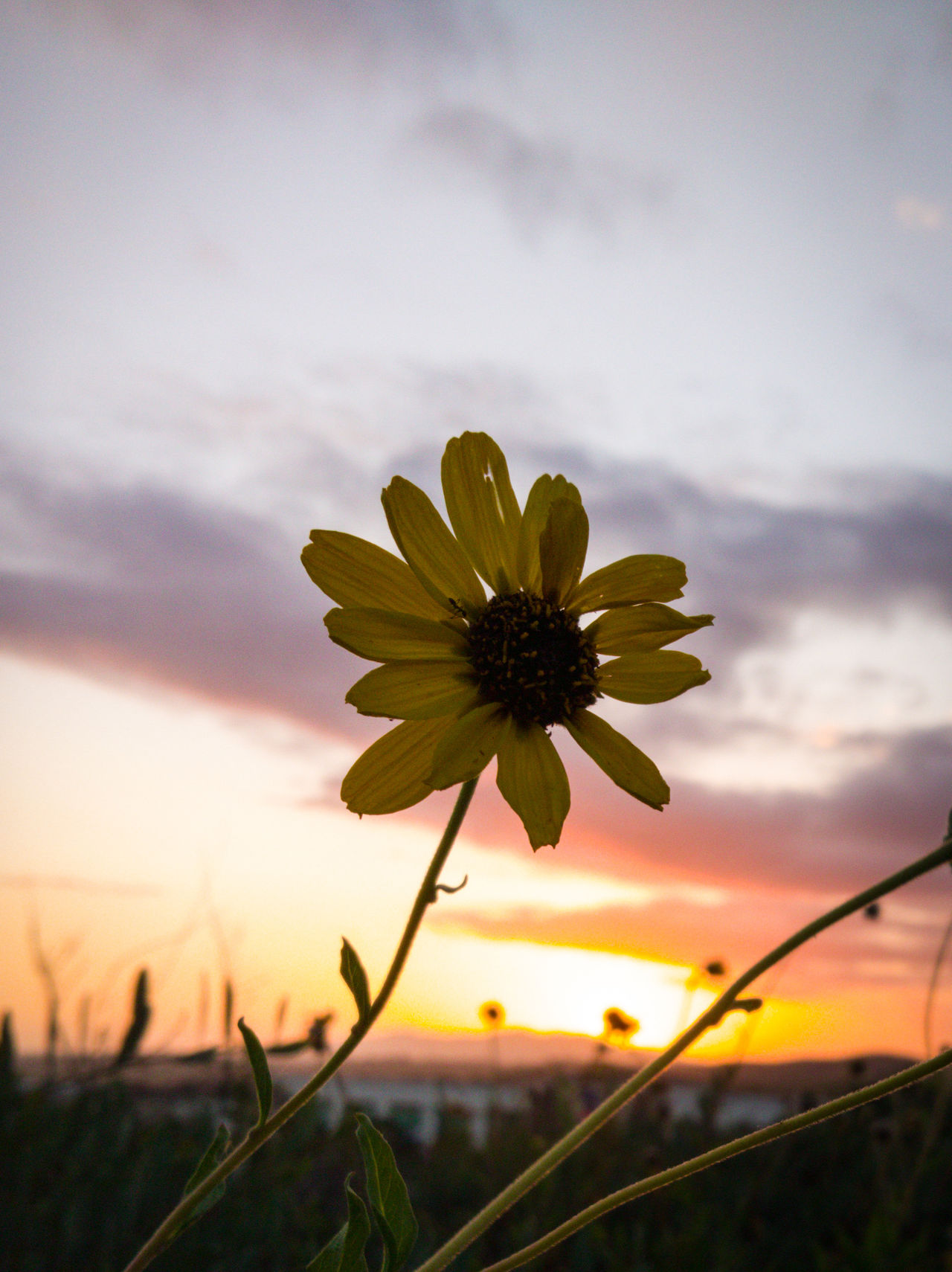 Flower Cloud - Sky Sky Plant Sunset Nature Outdoors Landscape Beauty In Nature Rural Scene No People Petal Flower Head Field Fragility Tranquility Day Growth Sunlight Scenics