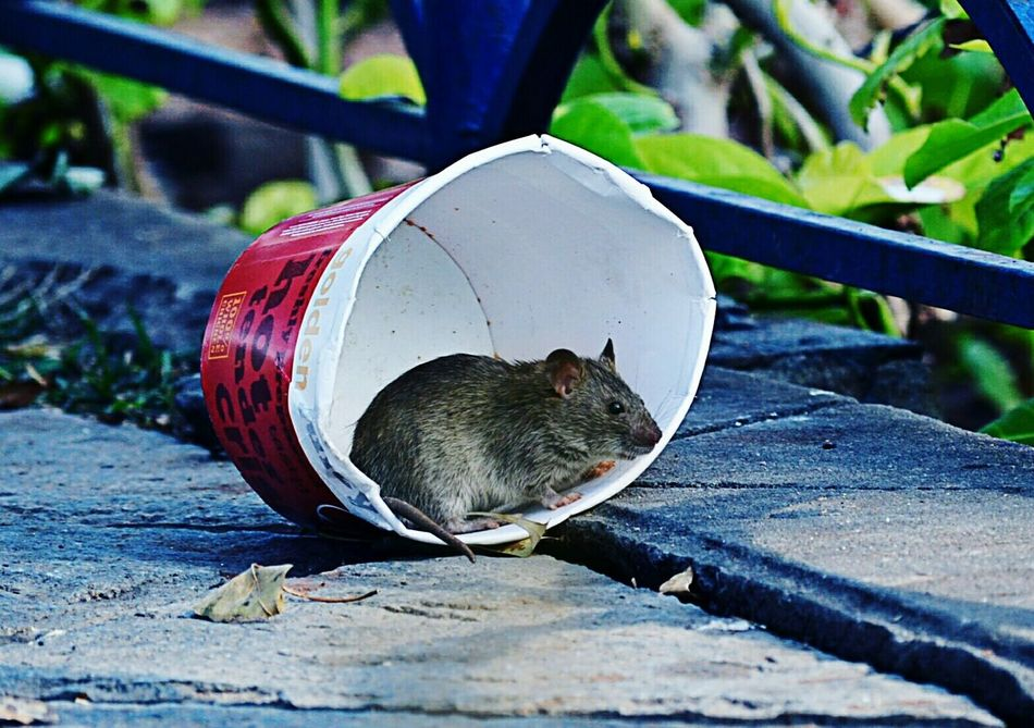 Beautiful stock photos of rat, Alertness, Animal Themes, Animal Wildlife, Animals In The Wild
