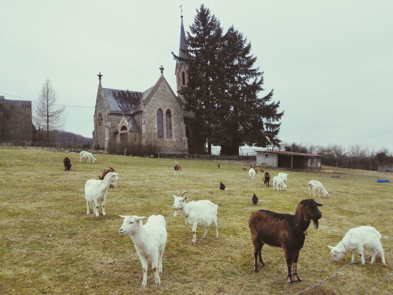 I made some new friends today. Goats Church Countryside