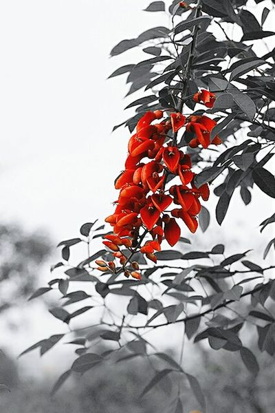 Red flowers are blooming in spring. Red Flower Black And Red Blooming EyeEm Nature Lover Beautiful Nature Red EyeEm Gallery EyeEmBestPics Nature_collection Eye4photography