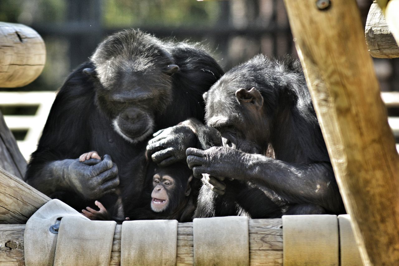 Hanging Out Taking Photos Simply Beautiful Chimpanzee Family Time Color Photography Little Rock, Arkansas Time With My Daughter Little Rock Zoo Challenge Yourself Taking Photos