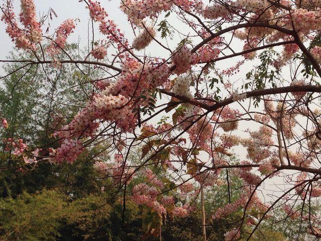 I think it look like Sakura.🌸 Sakura Flowers Thailand EyeEm EyeEm Best Shots EyeEm Thailand Photooftheday Taking Photos PhotoByMe Nature On Your Doorstep