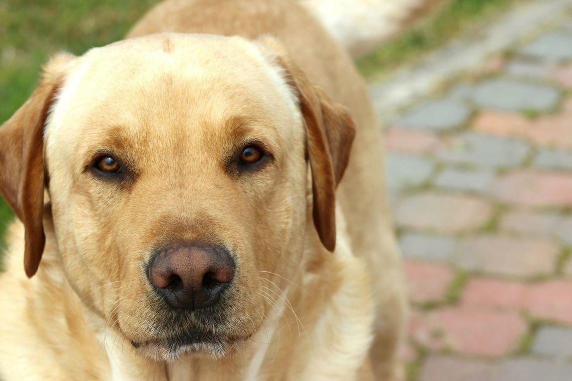 Dog Labrador Todo Miamor Photo