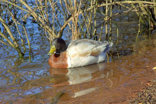Animal Themes Animals In The Wild Beak Bird Day Duck Lake Nature One Animal Outdoors Pond Side View Water Wildlife