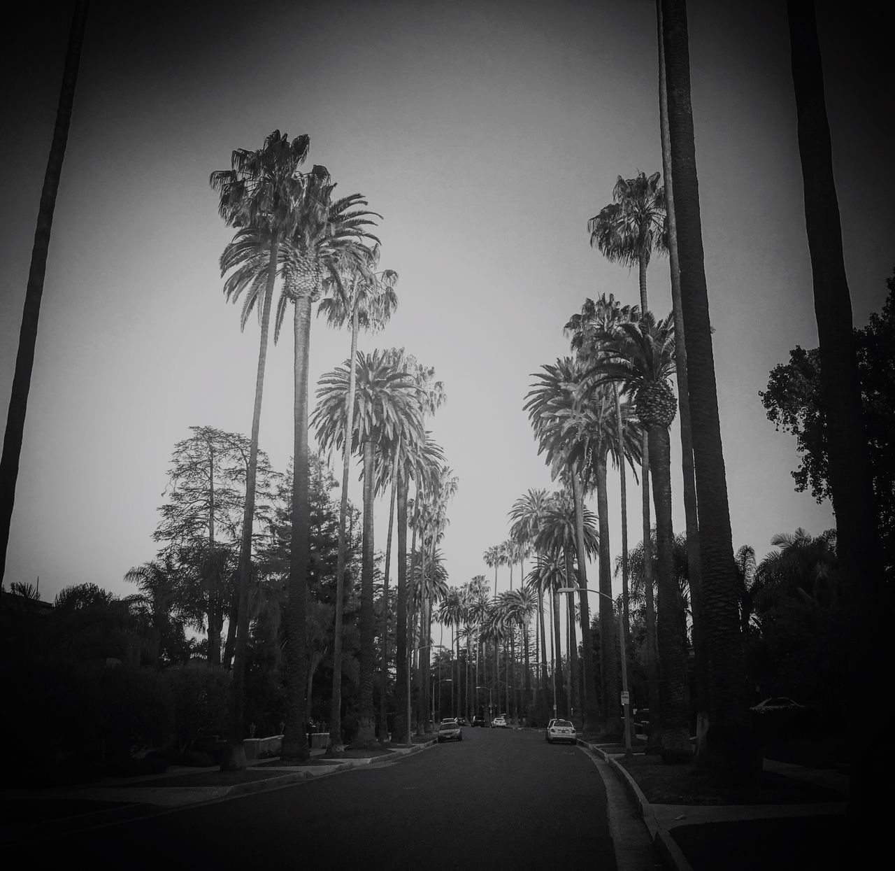 Black And White Beverly Hills California Palm Trees Residental Street Road Avenue Homes Iphone 6 Plus Iphone6plus Los Ángeles Street Wide Sunset Parked Cars Quiet Street Afternoon Lawns Tall Palm Trees Tall Palm Tree Outside Street Photography Getty Images Parisa Carello Neighborhood Map