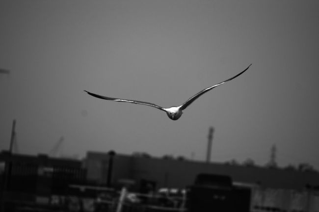 Fly without limits Animals In The Wild Animal Themes Bird Flying Spread Wings One Animal Wildlife Seagull Focus On Foreground Animal Wing Mid-air Outdoors Sky Flight Tranquility Nature Blackandwhite Animal Cadiz EyeEm Best Shots EyeEm Best Shots - Black + White EyeEm Best Shots - Nature EyeEm Nature Lover Black Color Nature_collection