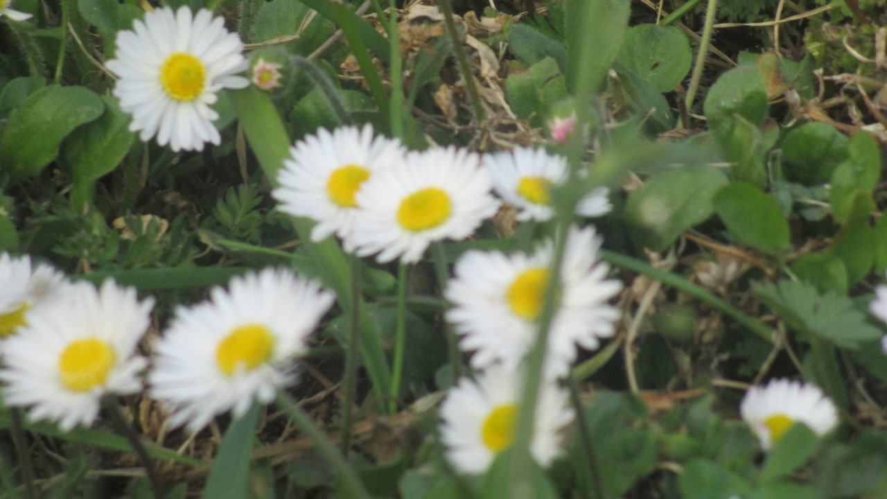 Beauty In Nature Blooming Close-up Daisy Dark Green Day Flourishing Flower Flower Head Fragility Freshness Growth High Angle View Margarita Nature No People Outdoors Petal Plant Spring Has Arrived Spring Joy Springtime Uncultivated White Color Yellow